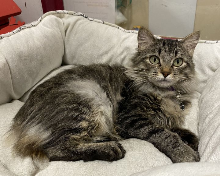 Cat For Adoption Willow A Maine Coon Tabby Mix In Billings Mt Petfinder