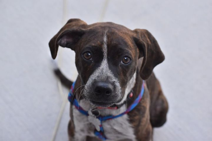 Montgomery, an adopted Pointer & Retriever Mix in Roselle, IL
