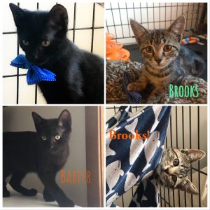 Brooks  Baxter are 2 bonded sweet male kittens rescued from the streets of the Bronx but are now lo
