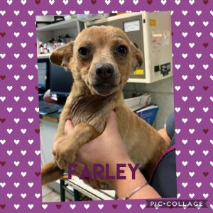 Farley is a chi mix He had a rough start in life he is still improving in his coat appearance