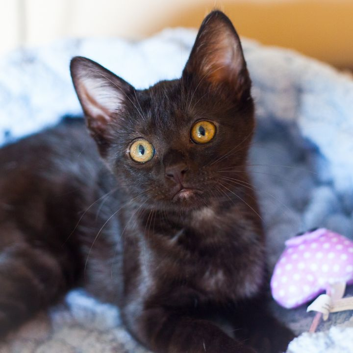 Basil, an adopted Domestic Short Hair in Ponte Vedra, FL