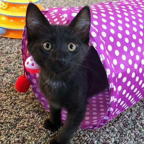 Planck, an adopted Domestic Short Hair Mix in Springfield, OR