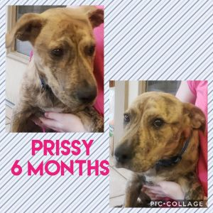 Prissy is a playful loving pup looking for a fur-ever home to call her own She has the sweetest fac