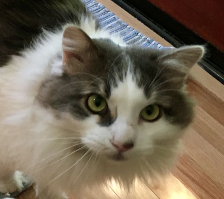 Scruffles, an adoptable Domestic Medium Hair in Beverly Hills, CA_image-2