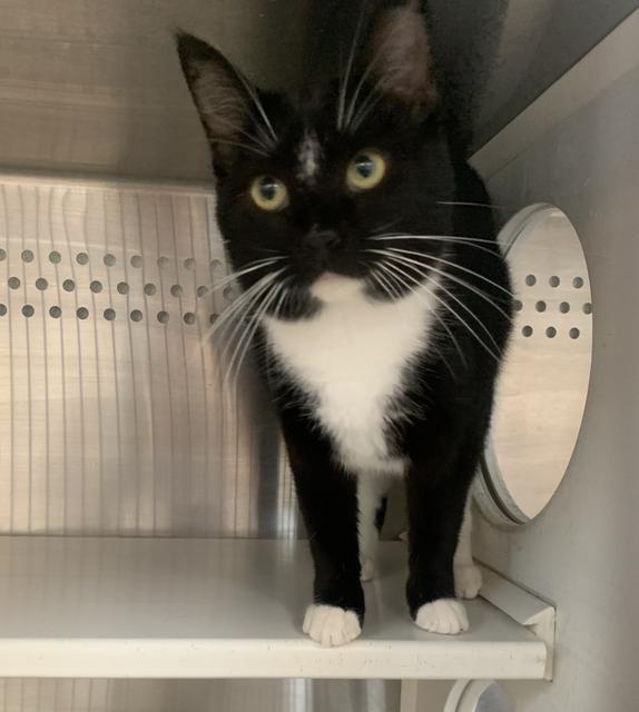 Maggie, an adoptable Domestic Short Hair in Minot, ND