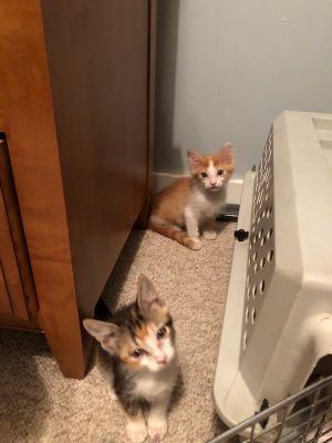 This pair of kitties is out of this world Meet Mork orange striped boy and Mindy a calico female