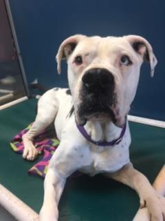 Sam, an adopted American Bulldog & Mastiff Mix in Bellingham, WA