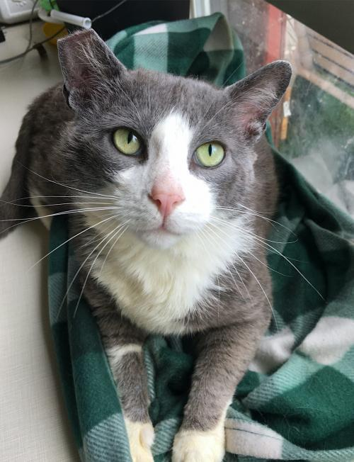 Big Tom, an adoptable Domestic Short Hair Mix in Springfield, OR