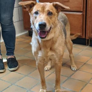 Francesca is a very sweet 6-year-old shepherd mix looking for a forever home She weighs 48 lbs She