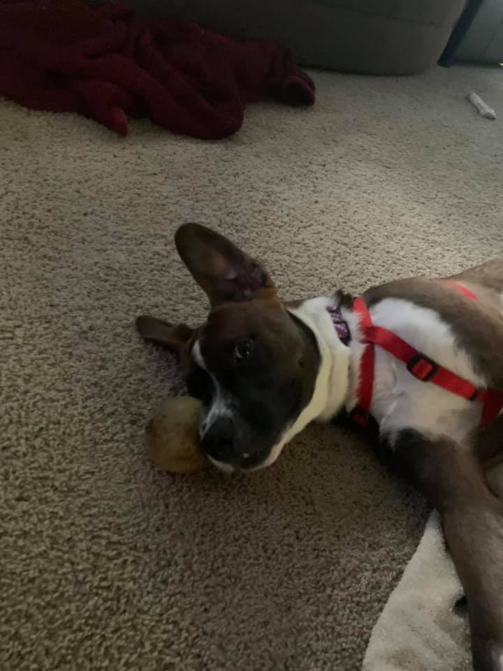 Ollie, an adopted Boxer Mix in Manhattan, KS