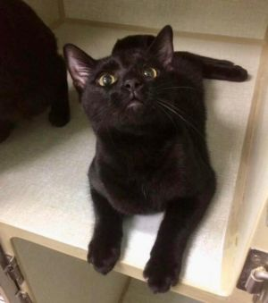 Henry Domestic Short Hair Cat