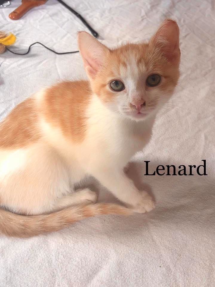 Lenard, an adopted Tabby in Independence, OH