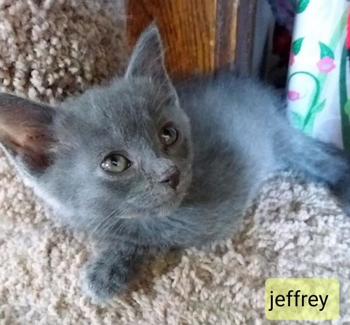 Jeffrey, an adopted Domestic Medium Hair in Independence, OH