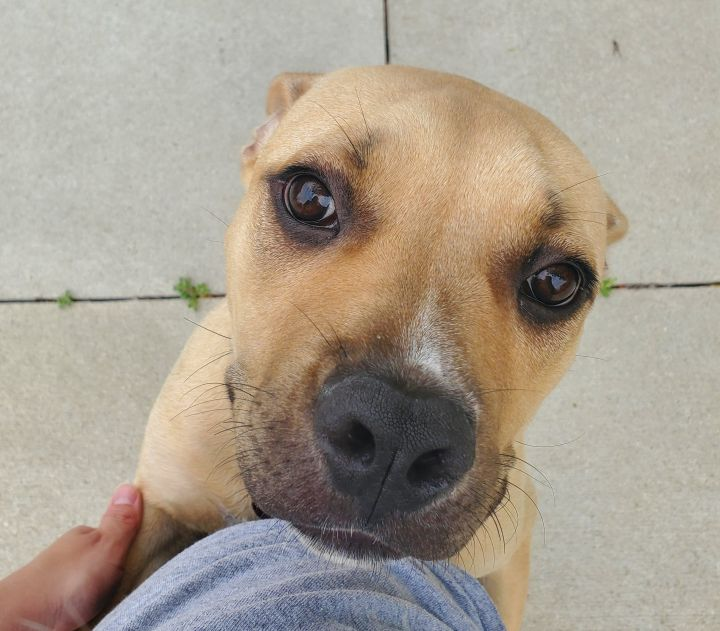Isabel, an adopted Pit Bull Terrier & Hound Mix in Naperville, IL