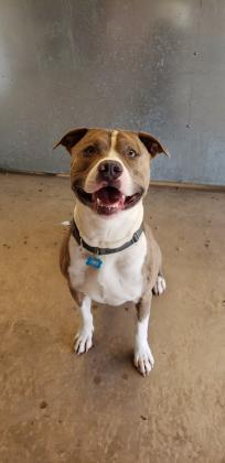 Kodak, an adoptable Pit Bull Terrier Mix in Bloomsburg, PA