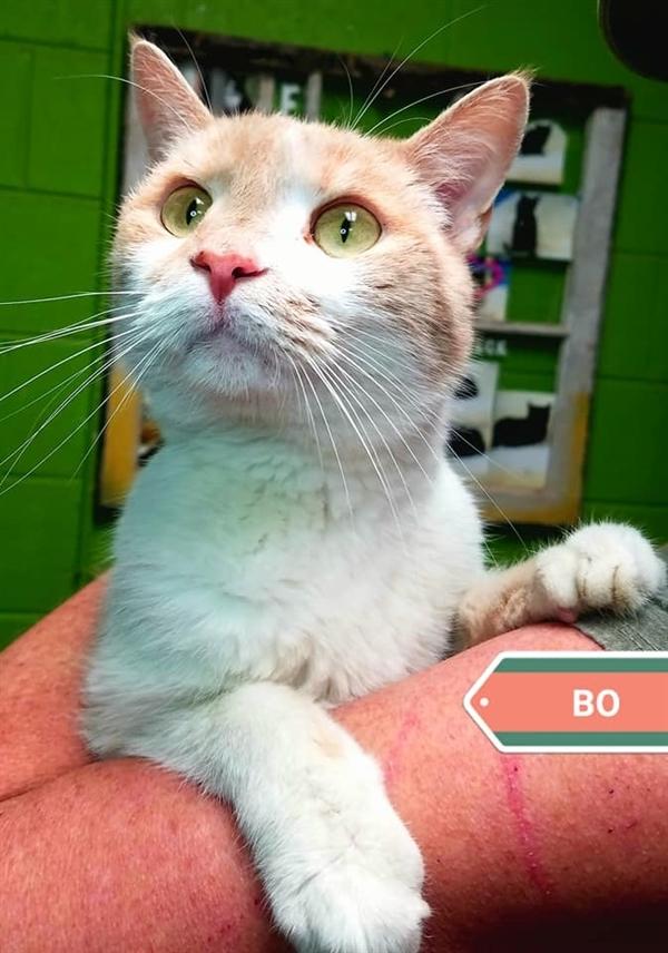 Bo, an adoptable Domestic Short Hair Mix in Oak Ridge, TN