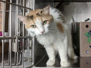 Primary Color Muted Calico Weight 12lbs Age 10yrs 0mths 2wks Animal has been Spayed