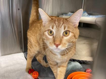Rusty, an adoptable Domestic Short Hair Mix in Queenstown, MD