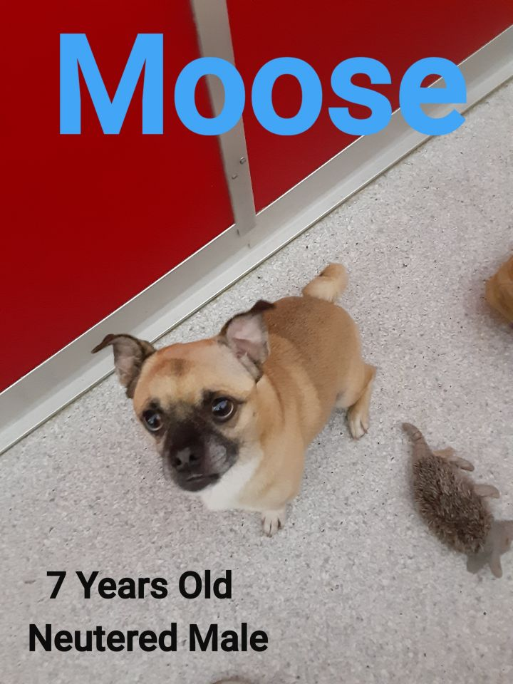 Moose, an adoptable Pug & Chihuahua Mix in Lake Havasu City, AZ