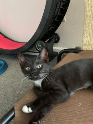 Checkers and Van are 2 of our best little boys Besties totally lovable cuddly active--purrfect f