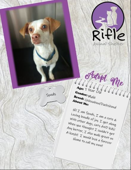 Spuds, an adopted Chiweenie Mix in Rifle, CO