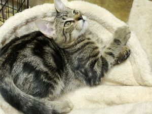 Dallas is a playful adorable and affectionate 4 month old kitten He gets along well with other cat