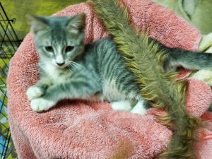 Taylor is a playful adorable and affectionate 4 month old kitten He gets along well with other cat