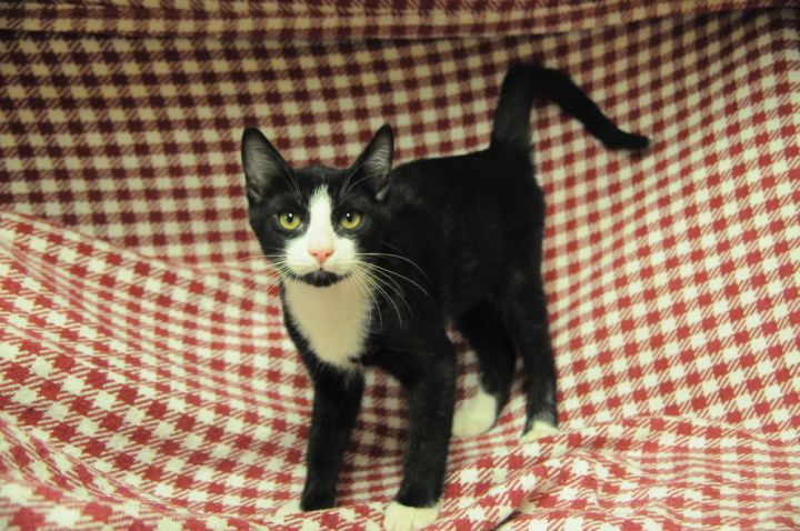Styles, an adoptable Domestic Short Hair in Jamestown, CA
