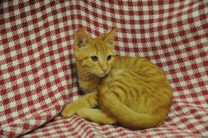 JJ, an adoptable Domestic Short Hair in Jamestown, CA