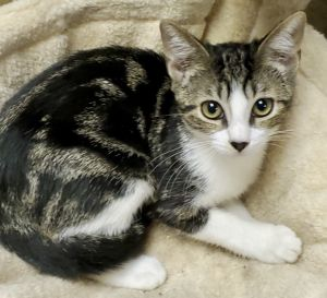 Alice is a playful adorable and affectionate 4 month old kitten She gets along well with other cat
