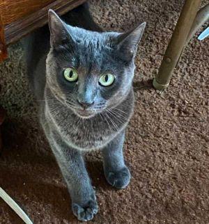 Ellen and Portia Dilute Calico Cat