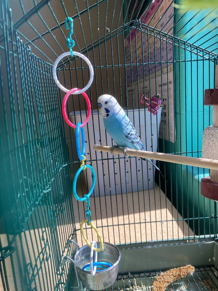 Bon Bon, an adopted Parakeet (Other) in Appleton, WI