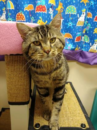 Cheeks, an adopted Domestic Short Hair in Bellingham, WA