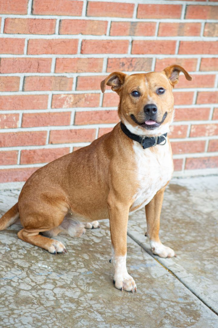 COMET, an adoptable Mixed Breed in Cape Girardeau, MO