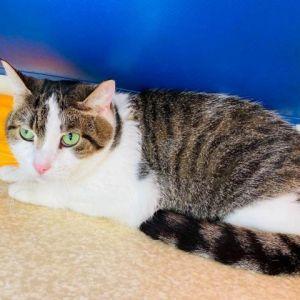 Squikkie Domestic Short Hair Cat