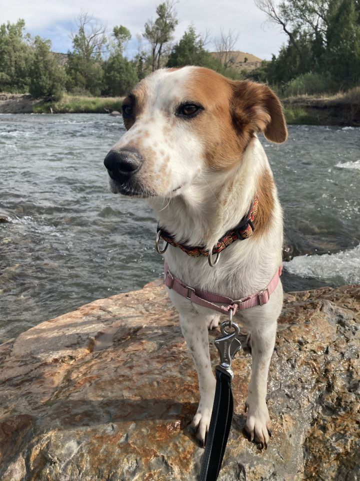 Willow, an adoptable Cattle Dog Mix in Ridgway, CO