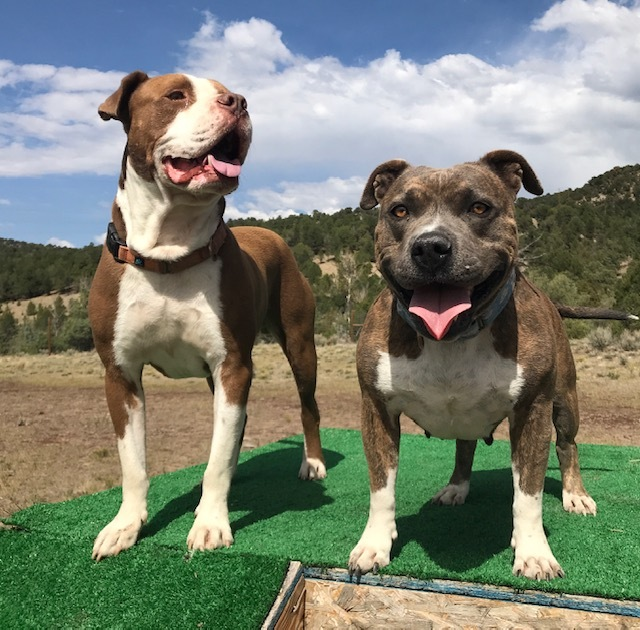 Tinkerbelle, an adoptable Pit Bull Terrier in Ridgway, CO