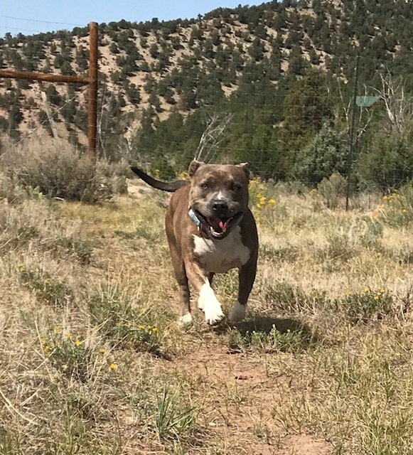 Tinkerbelle, an adopted Staffordshire Bull Terrier in Ridgway, CO
