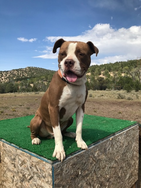 "Peter Pan ""Petey"", an adopted Pit Bull Terrier in Ridgway, CO"
