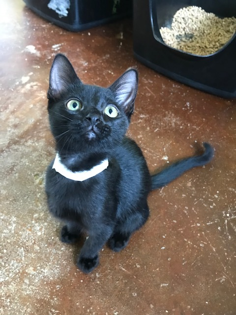 Peeta, an adoptable Domestic Short Hair Mix in Carencro, LA