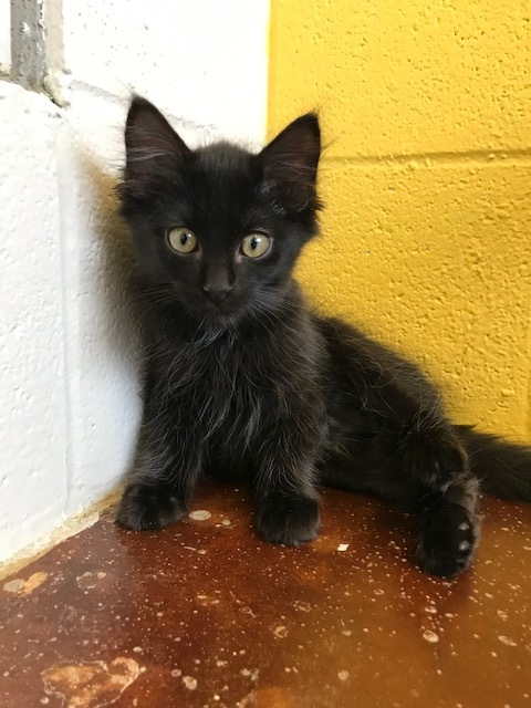 Gale, an adopted Maine Coon & Domestic Medium Hair Mix in Carencro, LA