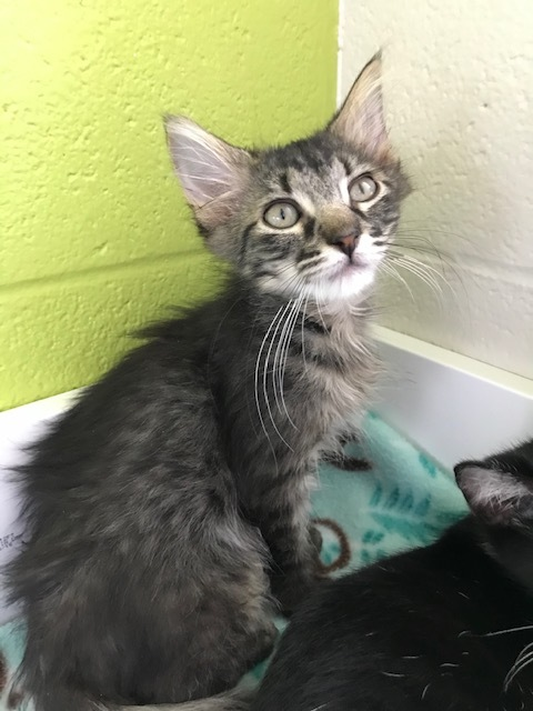 Vader, an adoptable Domestic Medium Hair Mix in Carencro, LA