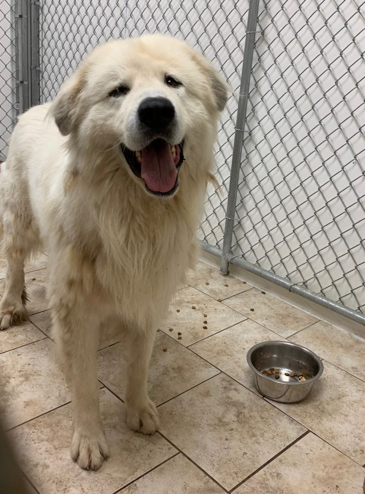 Marlin, an adoptable Great Pyrenees in Saint Louis, MO
