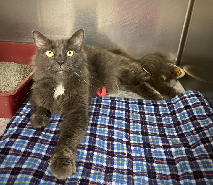 Stormy, an adopted Domestic Medium Hair in Kittanning, PA