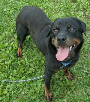 Meet Devana a 3 -year-old rottweiler looking for a loving home She weighs 65 lbs and could use a c