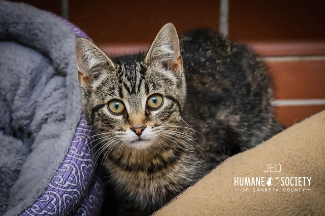 Jed, an adoptable Domestic Short Hair in Johnstown, PA