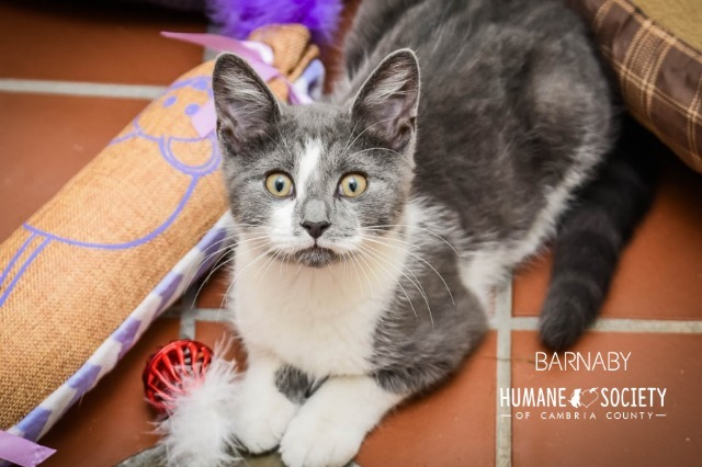 Barnaby, an adoptable Domestic Short Hair in Johnstown, PA