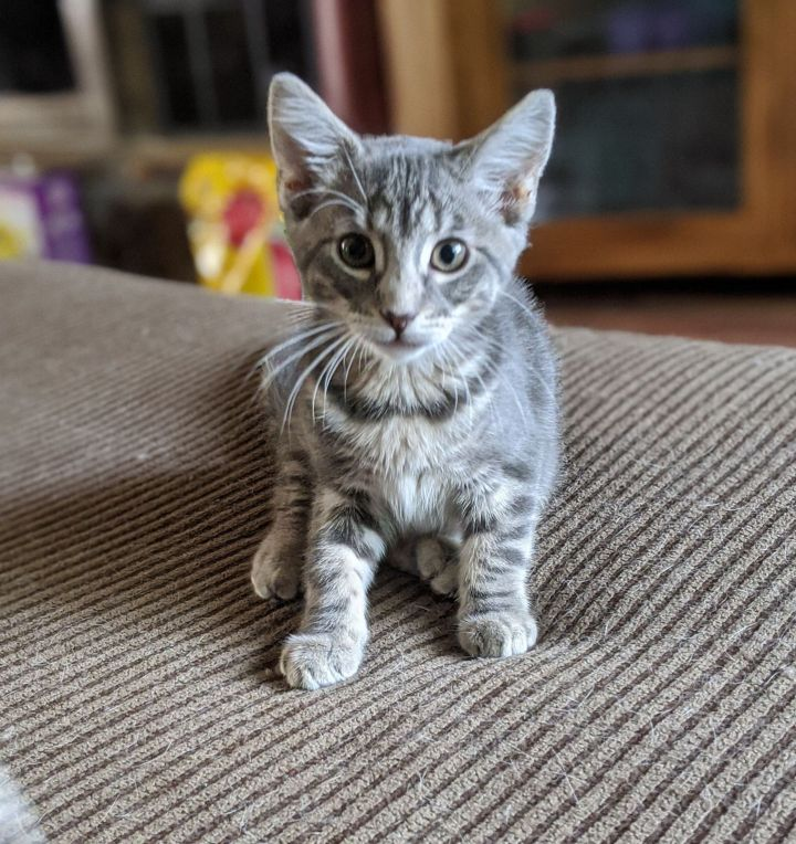 Matilda, an adopted Domestic Short Hair Mix in Overland Park, KS