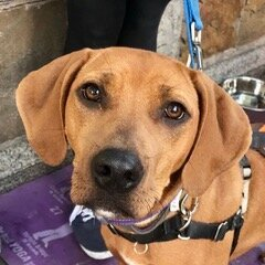 Sally, an adoptable Coonhound Mix in Brooklyn, NY