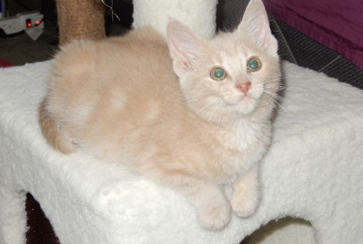 Cassie Chrissy chloe Charlie, an adoptable Domestic Short Hair in Highland, IN
